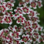 Saxifraga cotyledon 'Southside Seedling' - Steenbreek - Saxifraga cotyledon 'Southside Seedling'