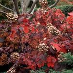 Eikenbladhortensia - Hydrangea quercifolia 'Snowqueen'