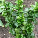 Ligustrum japonicum 'Rotundifolium' - Liguster - Ligustrum japonicum 'Rotundifolium'