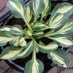 Hosta 'Desert Mouse' - Hartlelie/Funkia