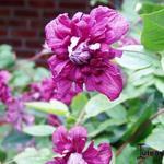 Clematis viticella 'Purpurea Plena Elegans' - Bosrank, Italiaanse clematis