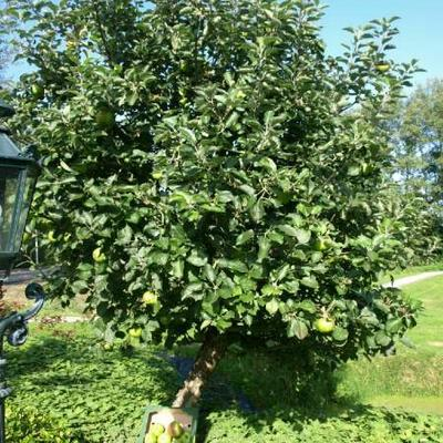 Malus domestica ' Bramleys seedling' - Appel