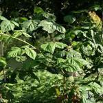 Rubus x loganobaccus - Rubus x loganobaccus - Loganbes