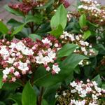 Viburnum tinus 'Gwenllian' - Sneeuwbal - Viburnum tinus 'Gwenllian'