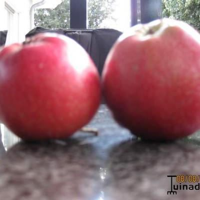 Malus domestica 'Summerred - Appel