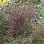 Japanse zuurbes - Berberis thunbergii f. atropurpurea 'Harlequin'