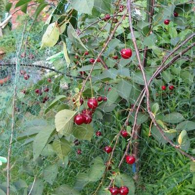 Prunus cerasus -
