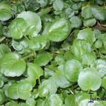 Nasturtium officinale - Waterkers, Witte waterkers - Nasturtium officinale