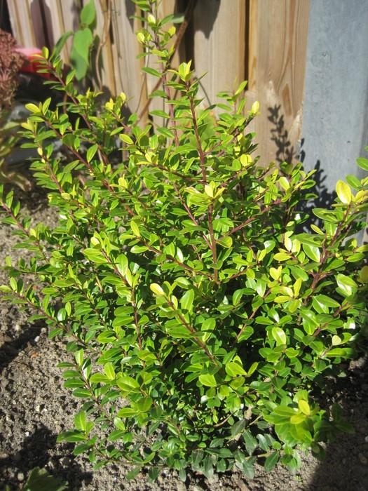 Japanse hulst ilex crenata 39 golden gem 39 - Japanse tuindecoratie ...