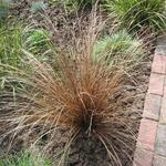 Zegge - Carex comans 'Bronze Form'