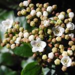 Viburnum tinus 'Lisa Rose' - Sneeuwbal - Viburnum tinus 'Lisa Rose'