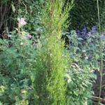 Cupressus sempervirens 'Stricta' - Italiaanse cipres - Cupressus sempervirens 'Stricta'