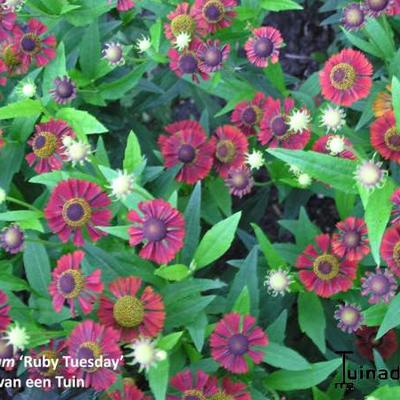 Zonnekruid - Helenium 'Ruby Tuesday'