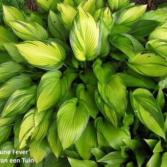 Hosta 'June Fever'