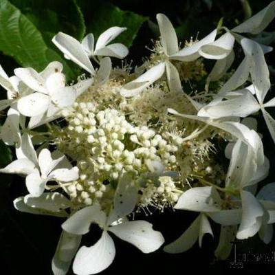 Hydrangea paniculata 'Great Star'  -
