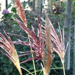Miscanthus sinensis 'Red Chief' - Prachtriet