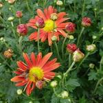 Chrysanthemum 'Cottage Apricot ' - Chrysanthemum 'Cottage Apricot ' - Margriet
