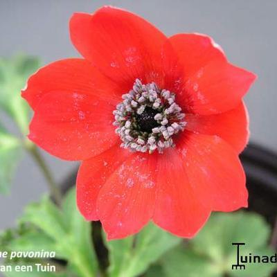 Anemone pavonina -