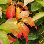 Parthenocissus quinquefolia 'Engelmannii' - Wilde wingerd - Parthenocissus quinquefolia 'Engelmannii'