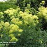 Poelruit/Ruit - Thalictrum flavum subsp. glaucum
