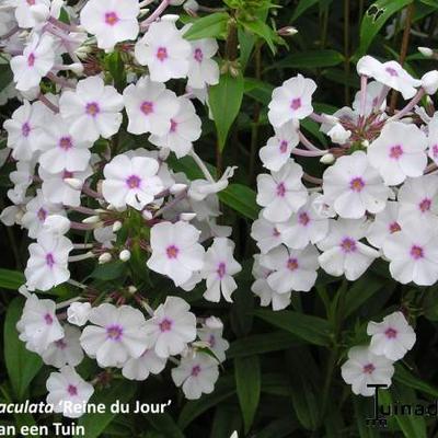 Phlox maculata 'Reine du Jour' -