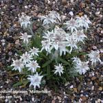 Leontopodium alpinum 'Matterhorn' -
