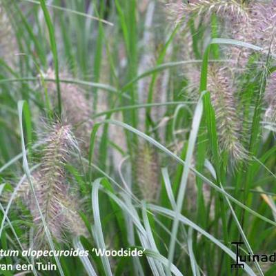 Pennisetum alopecuroides 'Woodside' -