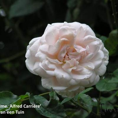 Rosa 'Mme. Alfred Carriere' - Roos, Klimroos