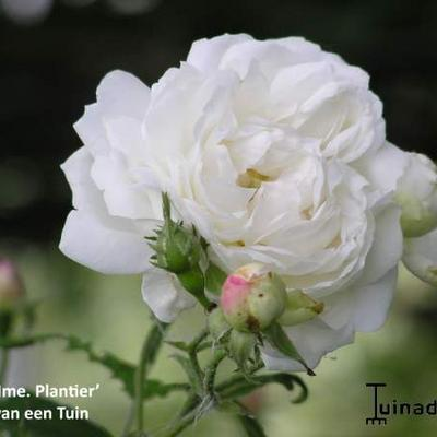 Rosa 'Mme Plantier' - Roos, klimroos