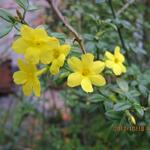 Jasminum nudiflorum - Winterjasmijn