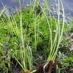 Acorus gramineus 'Variegatus'  - Bonte kalmoes, Dwergkalmoes, Japanse kalmoes  - Acorus gramineus 'Variegatus'