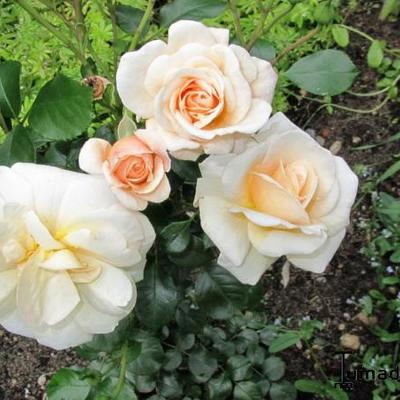 Rosa 'Apricot Nectar'  - Roos