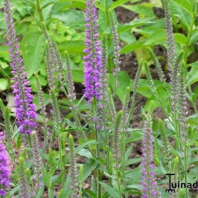 Veronica longifolia 'Eveline' - Lange ereprijs - Veronica longifolia 'Eveline'