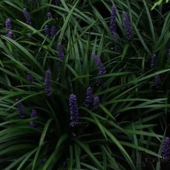 Leliegras Liriope Muscari Ingwersen Vaste Planten Planten