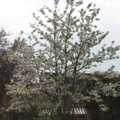 Prunus avium 'Early Rivers' - Kerselaar, Kersenboom
