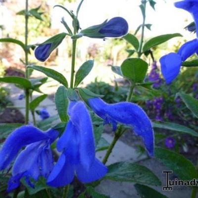 Salvia patens -