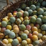 Prunus domestica 'Mirabelle de Nancy' - Pruimelaar