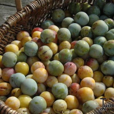 Prunus domestica 'Mirabelle de Nancy' -