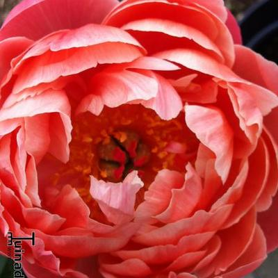 Paeonia 'Coral Charm' -