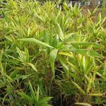 Dwergbamboe - Pleioblastus fortunei