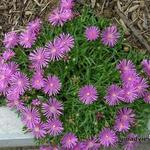 IJsbloem - Delosperma cooperi 'Table Mountain'