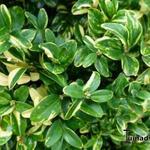 Buxus sempervirens 'Karmen' - Buxus sempervirens 'Karmen' - Palmboompje, Buxus, bontbladige