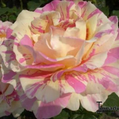 Rosa 'Claude Monet' - Roos