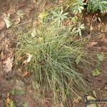 Muhlenbergia capillaris 'Pink Muhly Grass' -