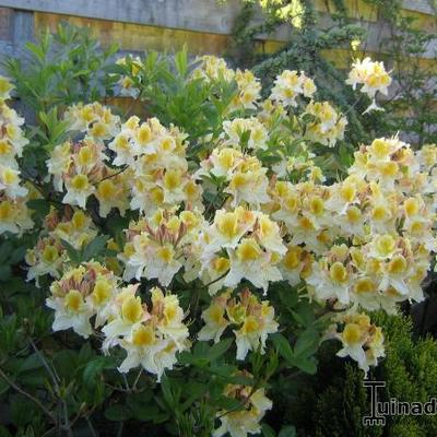 Rhododendron 'Lapwing'  -