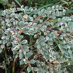 Cotoneaster atropurpureus 'Variegatus' - Cotoneaster atropurpureus 'Variegatus' - Dwergmispel, bontbladbladige dwergmispel
