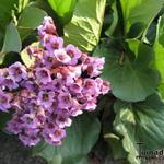Bergenia hybride - Bergenia hybride - Schoenlappersplant