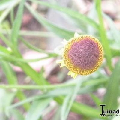 Helenium puberulum 'Autumn Lollipop' -