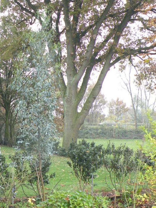 koortsboom eucalyptus gunnii 39 azura 39. Black Bedroom Furniture Sets. Home Design Ideas