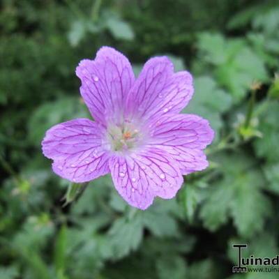 Geranium x cantabrigiense -